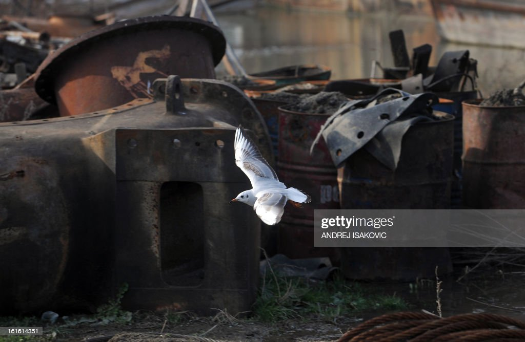 A gull flies over discarded ship parts on the banks of the Sava river in Belgrade on February 13, 2013.