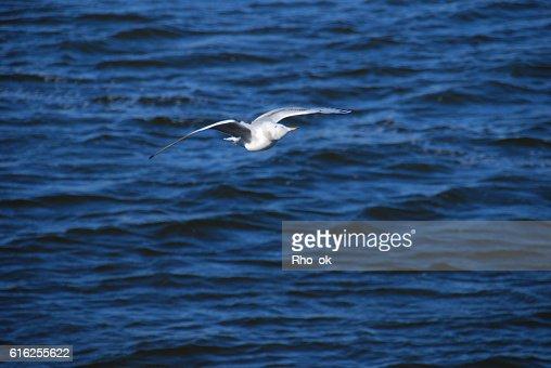 Gull in flying : Foto de stock