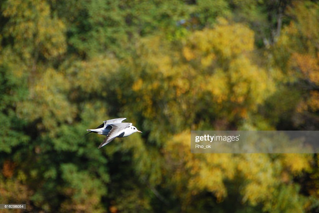 gull on a background of yellow trees : Foto de stock