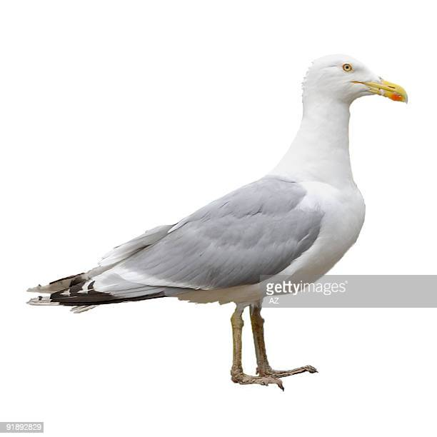 Gull (isolated, path)