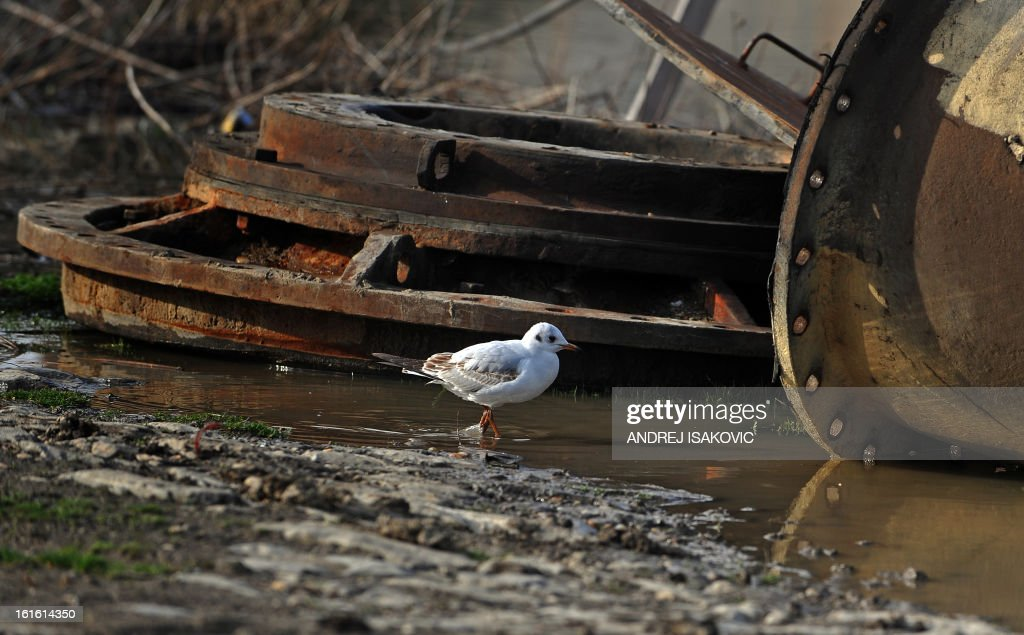 A gull walks near discarded ship parts on the banks of the Sava river in Belgrade on February 13, 2013.