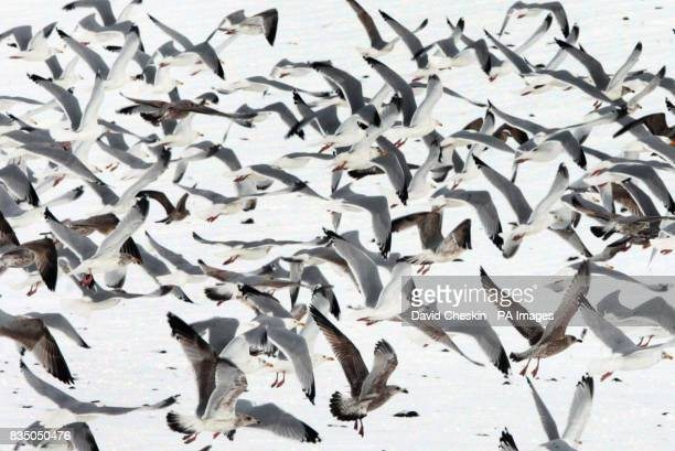 Gulls fly over a snow covered field in the Scottish Borders