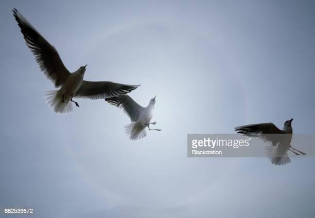 Gulls fly