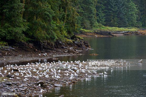 Gulls looking for salmon at the creek at Neets Bay Behm Canal in Southeast Alaska near Ketchikan USA