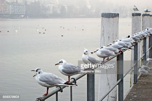 Gulls on railing