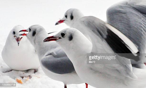 Gulls on snow