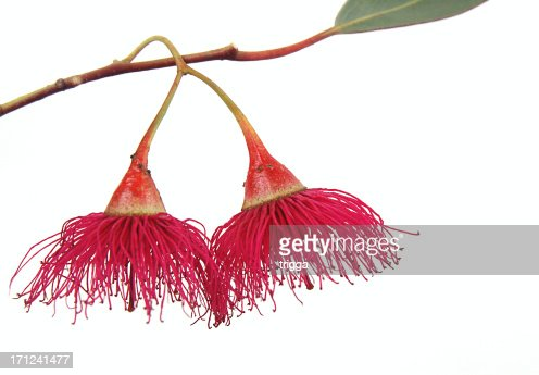 A Gum blossom drooping from its branch
