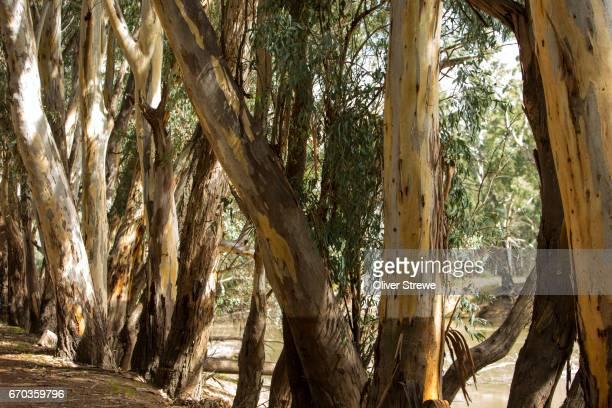Gumtrees line the banks of the Murrumbidgee River