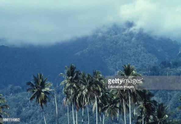 Gunung Leuser Sumatra where our new species of Rafflesia was found coconut palms Indonesia Cocos nucifera