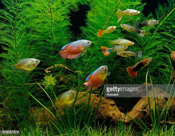 Guppy Poecilia reticulata and Dwarf gourami Colisa lalia larger red in aquarium Guppy native to South America gourami native to South Asia