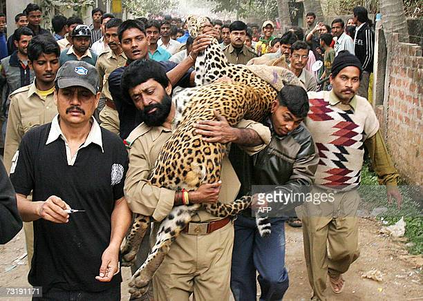 An Indian forest department official carries a leopard after it was tranquilized in Guwahati 03 February 2007 Three people were mauled by a leopard...