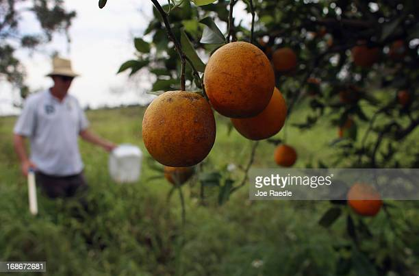 Guy Davies an inspector for the Florida Division of Plant Industry checks an orange tree for the insect Asian citrus psyllid that carries the...