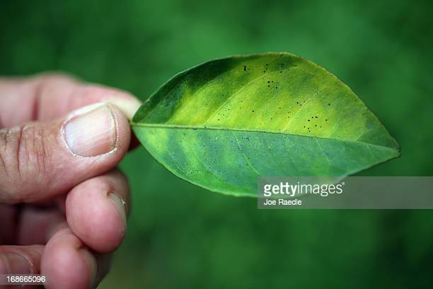 Guy Davies an inspector of the Florida Division of Plant Industry holds a leaf from an orange tree that is showing signs of 'citrus greening' that is...