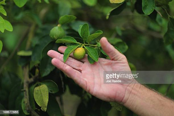 Guy Davies an inspector of the Florida Division of Plant Industry shows an orange that is showing signs of 'citrus greening' that is caused by the...