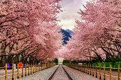 Gyeonghwa station during sakura blossom festival in Jinhae.