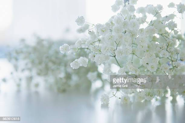 Gypsophila in full bloom