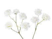 Gypsophila isolated on white background.