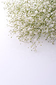 Gypsophila on white background