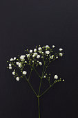 Gypsophila white small flowers on black stone background with copy space