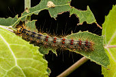 Large gypsy moth caterpillar sitting on a tree leaf that has been chewed on by the very distructive insect.