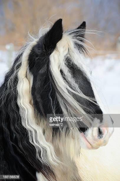 Gypsy Vanner Pferd Portrait, lange Mähne und Forelock Haar