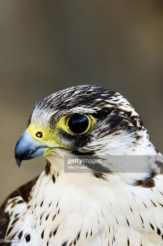 Gyr Falcon, Falco rusticolus, close up portrait, captive, UK : Stock Photo
