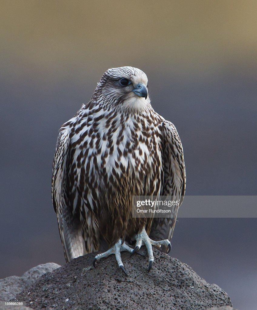 Gyr falcon - Falco rusticolus - Fálki : Stock Photo