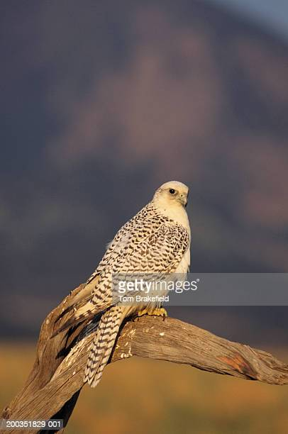 Gyr falcon, white-phase (Falco rusticolus) on tree limb, North America