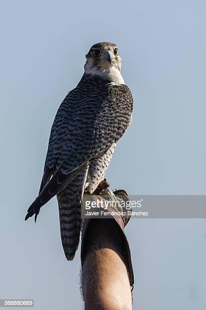 Gyrfalcon. Falconry. Falco rusticolus.