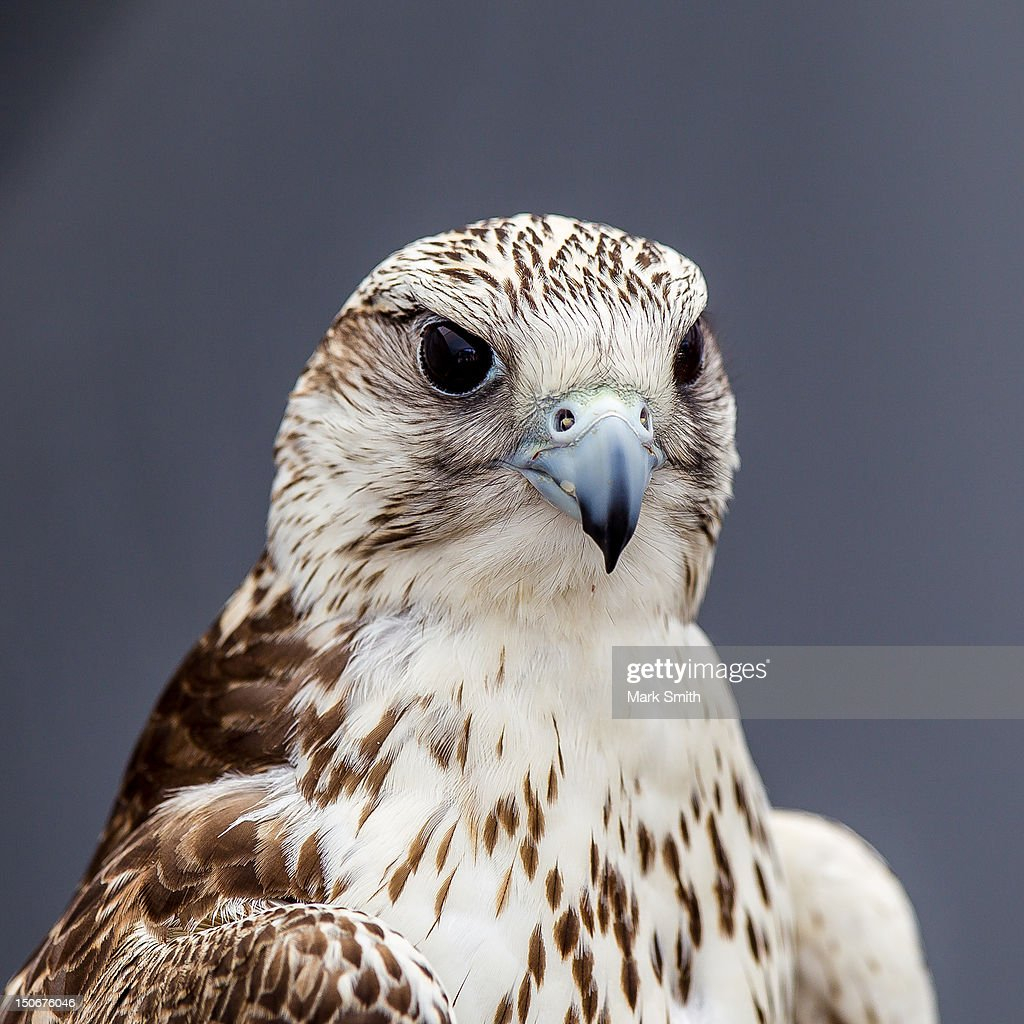 Gyrfalcon gerfalcon (Falco rusticolus) : Stock Photo
