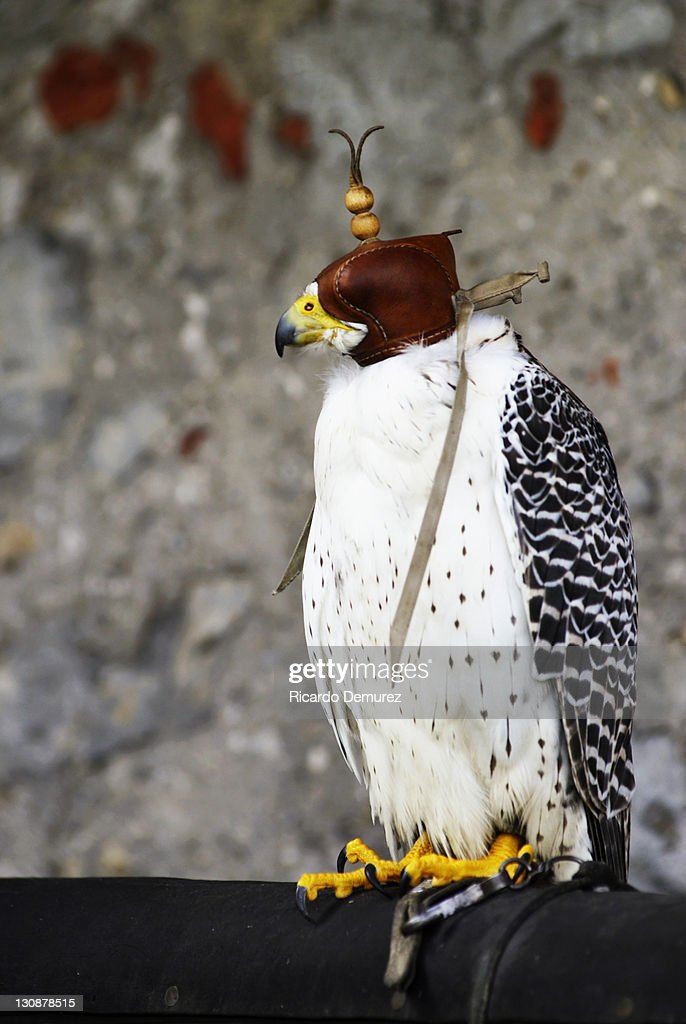 Gyrfalcon, Gyr Falcon (Falco rusticolus) wearing leather cap : Stock Photo