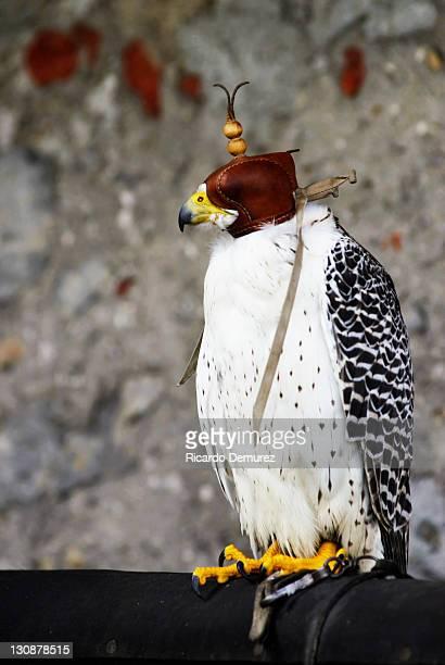 Gyrfalcon, Gyr Falcon (Falco rusticolus) wearing leather cap