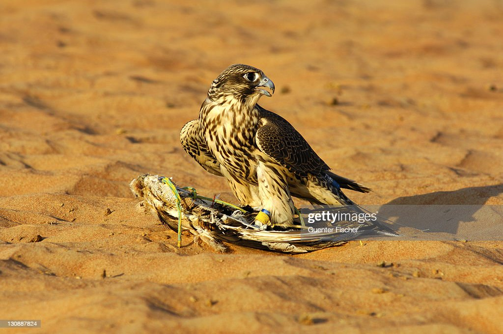 Gyrfalcon perched on fake prey in the desert, falcon training in Dubai, United Arab Emirates : Stock Photo
