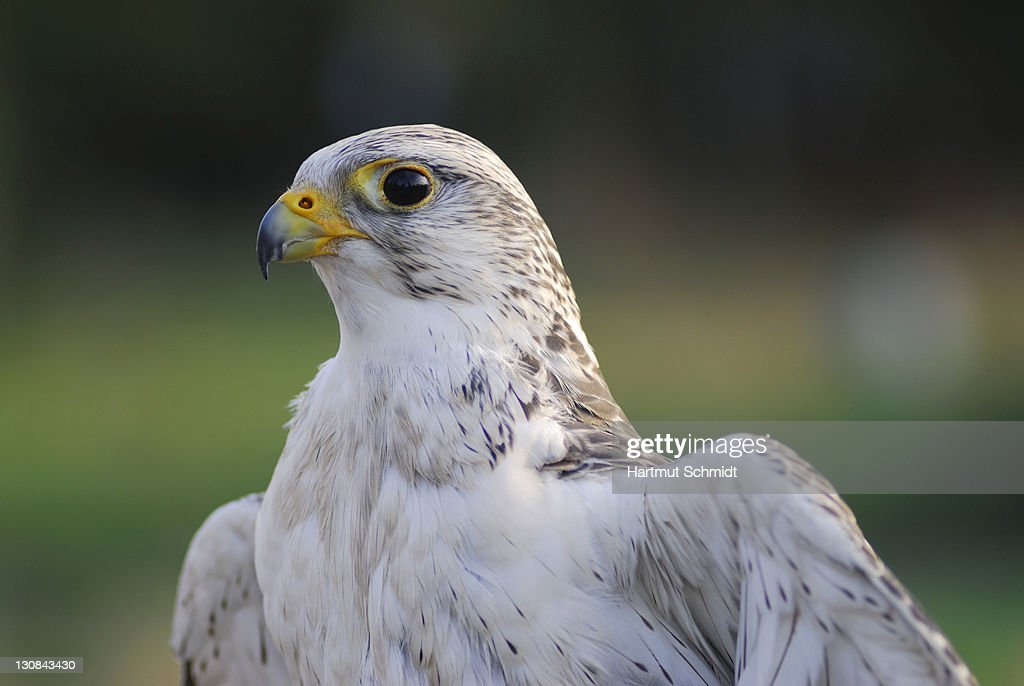 Gyrfalcon (Falco rusticolus) : Stock Photo