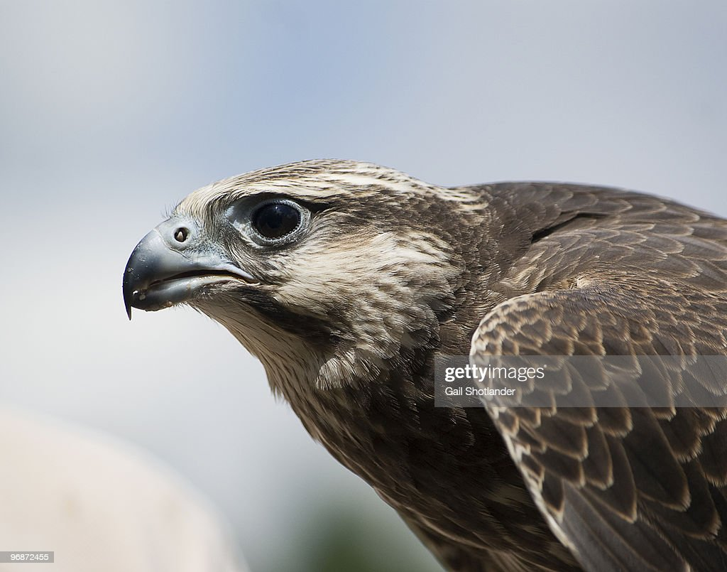 Gyrfalcon : Stock Photo