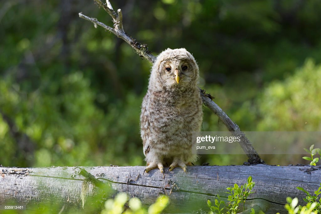 Habichtskauz, Strix uralensis, Ural owl : Stock Photo
