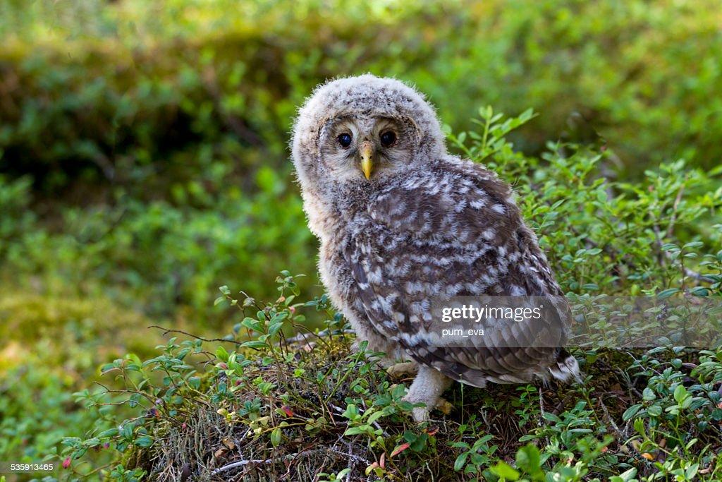 Habichtskauz, Strix uralensis, Ural owl : Stock Photo