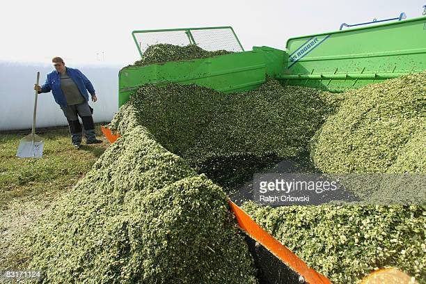 Hackled corn plants are delivered at a bioenergy plant on September 17 2008 in GrossGerau near Darmstadt Germany The biogas powered combined heat and...