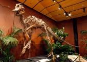 Hadrosaurid or duckbilled dinosaur skeleton is displayed at the Venetian Resort Hotel Casino September 30 2009 in Las Vegas Nevada Auctioneers...