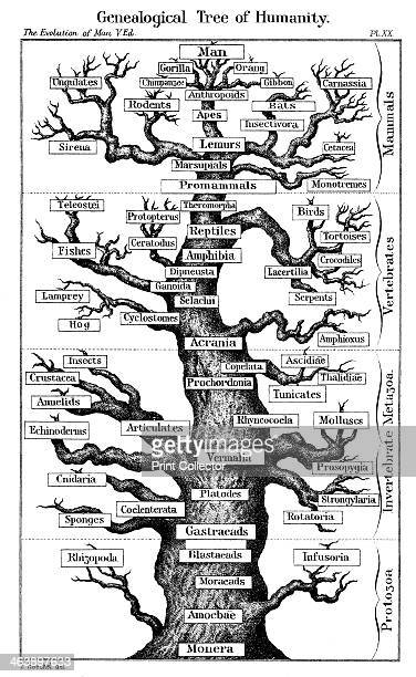 Haeckel's scheme of evolution displayed in the form of a tree 1910 From Ernst Haeckel The Evolution of Man fifth edition London 1910
