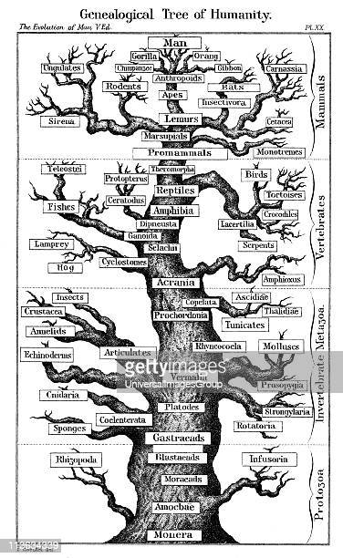Haeckel's scheme of evolution displayed in the form of a tree From Ernst Haeckel The Evolution of Man fifth edition London 1910
