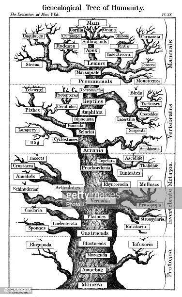 Haeckel's scheme of evolution displayed in the form of a tree From Ernst Haeckel 'The Evolution of Man' fifth edition1910London