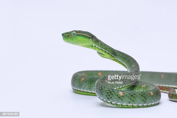 Hagen's Pit-viper (Trimeresurus hageni)