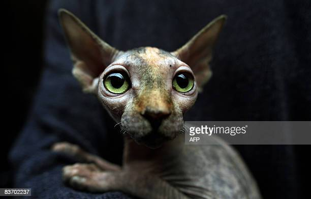A hairless Canadian sphynx cat is pictured during an International Feline Beauty contest in Sofia on November 15 2008 AFP PHOTO / BORYANA KATSAROVA