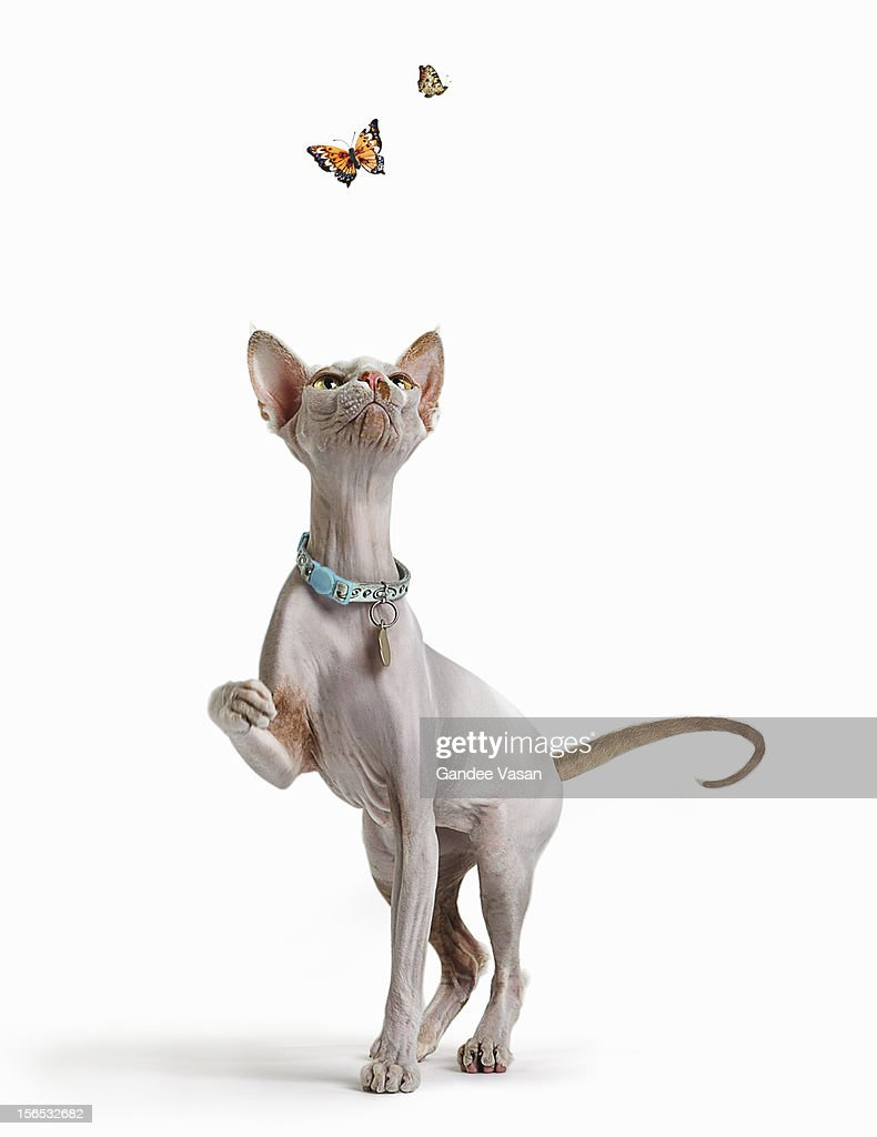Hairless Cat and Butterflies : Stock Photo