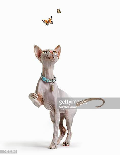 Hairless Cat and Butterflies