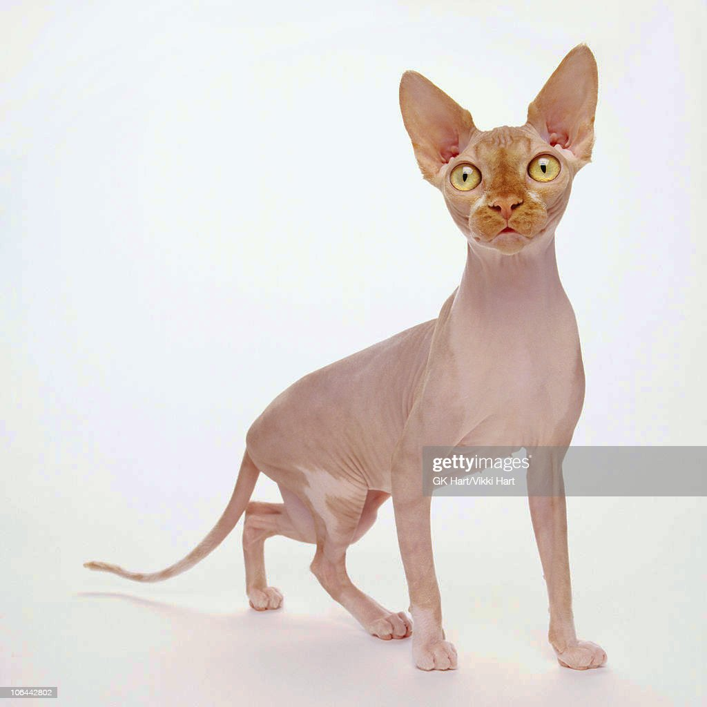 Hairless Cat on White Background
