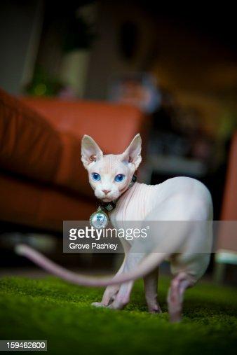 Hairless cat : Stock Photo