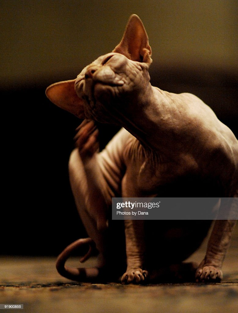 Hairless Cat scratching ear : Stock Photo