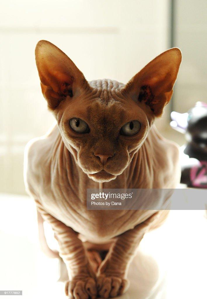 Hairless Sphynx Cat on Bathtub Ledge : Stock Photo
